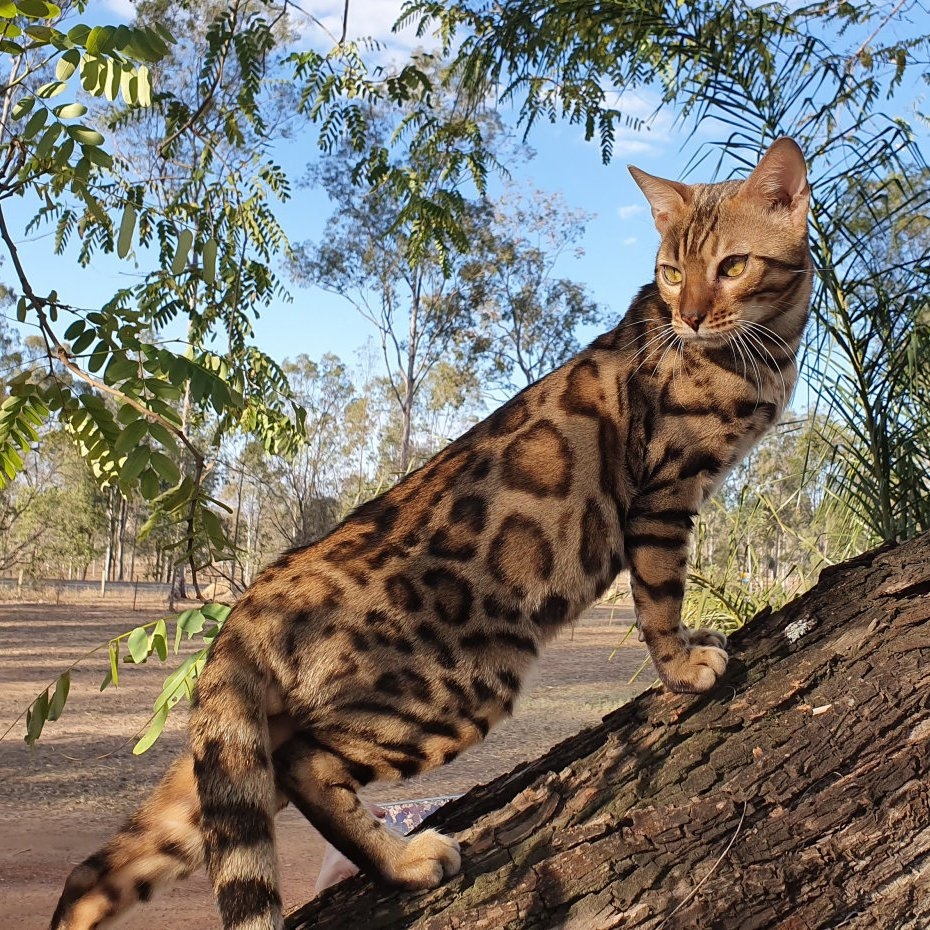 Bengal Kittens for sale from Migaloo Bengals  Registered